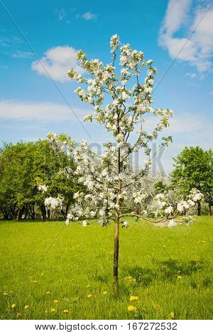 Beautiful Landscape with blossoming sapling of an Apple tree on a Sunny spring day. Springtime. Colorful Nature Vertical Wallpaper