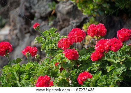 Red geraniums in a summer garden Tenerife Canary islands