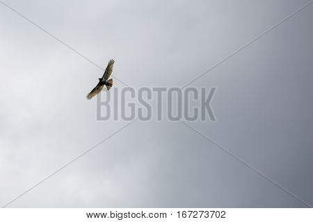 Red-tailed Hawk  (Buteo jamaicensis) soaring high in a gray sky.