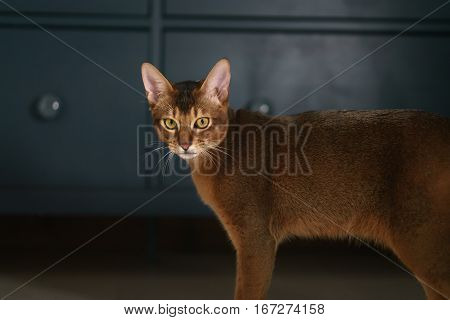 young abyssinian cat standing in living room, shallow focus portrait