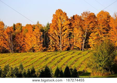 A Wisconsin field of young Christmas trees in the autumn.