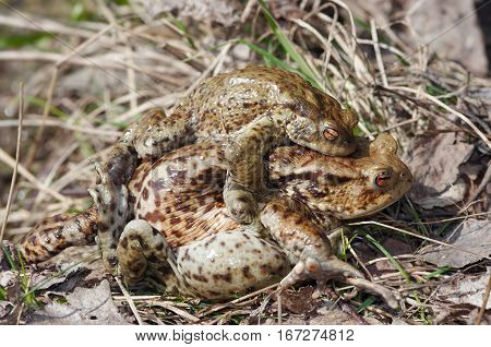 Detail of the reproduction of frogs - mating of toads - tired frog