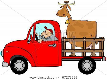 Illustration of a man driving a red pickup truck with a large cow in the bed.