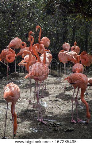 Flamingos At Ueno Zoo In Tokyo, Japan