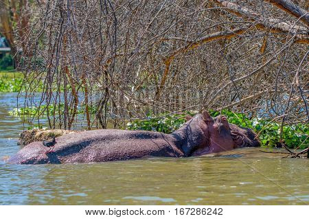 Hippo orHippopotamus amphibius is resting in the lake during the day