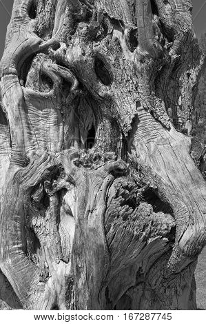 Black and white shot of a dead tree