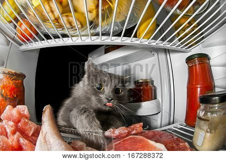gray cat got into the fridge sticking his tongue out and steals food