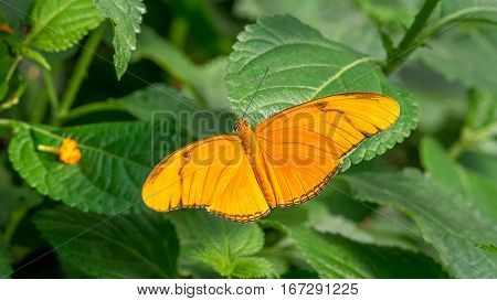 An orange Flambeau butterfly, Dryas Iulia on leaf