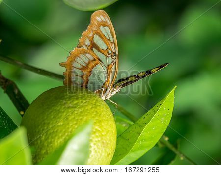 A Common Sergeant Butterfly (Athyma perius) resting on lime