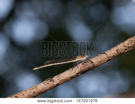 Damselfly resting on stick over forest background