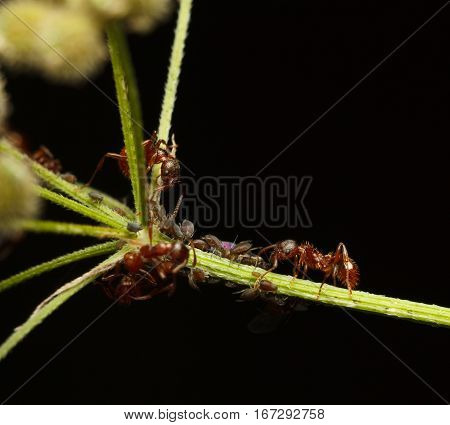 Ants And Aphids Cooperation
