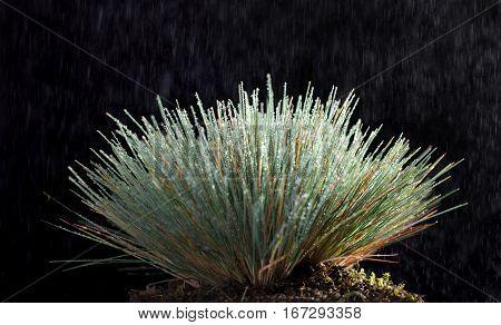 Rain And Grass Tussock