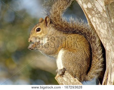 Close up of Eastern Gray Squirrel perched on ledge of a Cabbage Palm tree eating a snack.