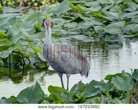 Sandhill Crane standing in profile with face turned for frontal view. Florida wetlands