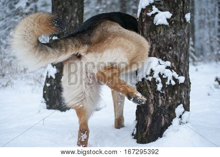 German shepherd dog pissing on a tree in a winter park