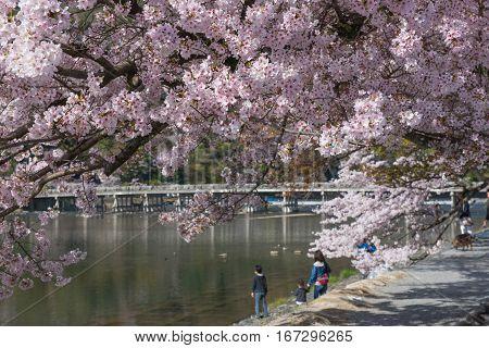Cherry blossom Arashiyama in spring, Kyoto, Japan