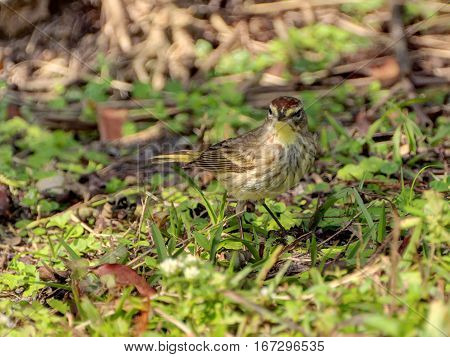 Palm Warbler on the green grass frontal view of face