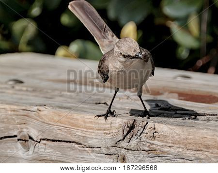Northern Mockingbird head tilting slightly to side with insect caught in its beak
