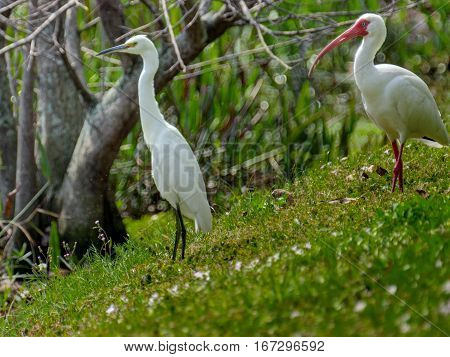 Snowy Egret and White Ibis enjoying the day surrounded by nature in Florida