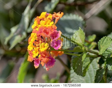 Cluster of yellow pink and orange colorful Lantana Camara flowers