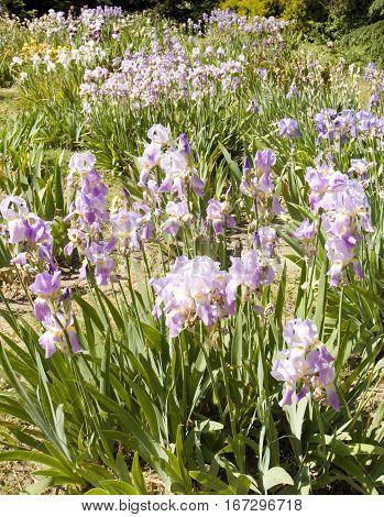 Flowerbed with many blue irises recorded in University botanic garden Ekopark in Saint Constantine and Helen resort Bulgaria.