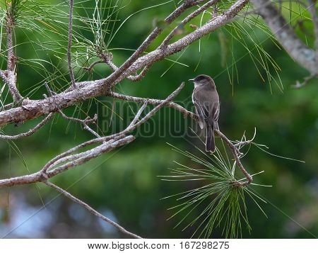 Migratory Eastern Phoebe perched on branch of a tree in Florida during winter season