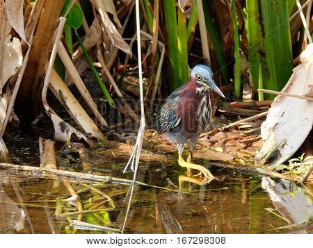 Little Green Heron taking a step in water of Florida wetlands
