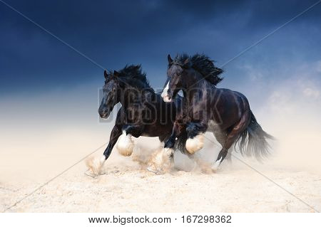 Two heavy-duty black beautiful horse galloping along the sand, kicking up dust on the background of a stormy sky. Pair of horses running free.