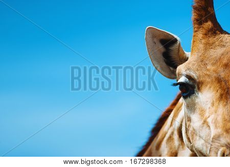 Portrait of a giraffe in detail against the blue clear sky