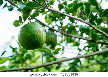 green lemon on tree lemon branch Fresh lemon