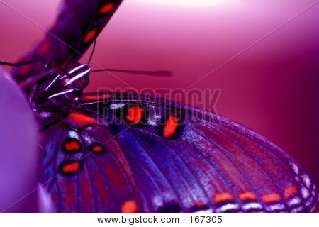 Insect, Butterfly