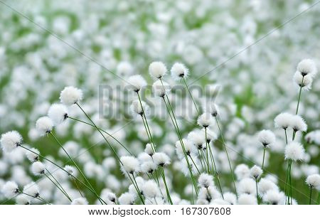 Spring landscape with flowering plant cotton grass.