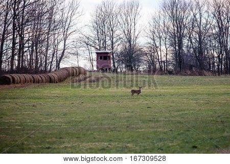 White-tailed Deer (odocoileus virginianus) doe standing in a field in front of a deer blind.