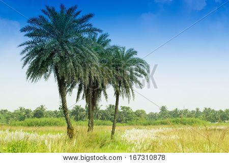 Kans grass Saccharum spontaneum blue sky backgound Kolkata West Bengal India - welcoming autumn in the city.
