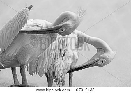 Portratit of a Pelicans Rosy Pelican Pelicanus onocrotalus a genus of large water birds of Pelecanidae family Kolkata West Bengal India. Black and white image.