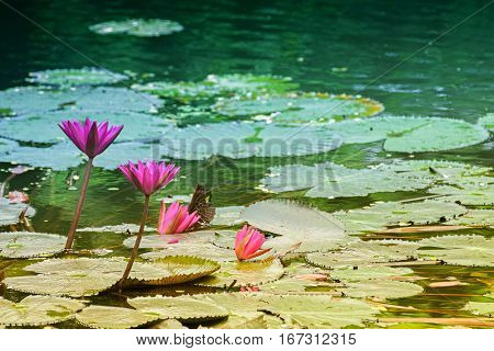 Nymphaea nouchali or Nymphaea stellata common name red water lily is a water lily of genus Nymphaea. It is native to southern and eastern parts of Asia and is the national flower of Sri Lanka and Bangladesh.