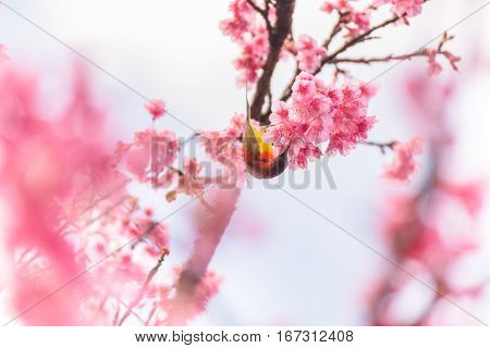 Sunbird In A Wild Himalayan Cherry (sakura)