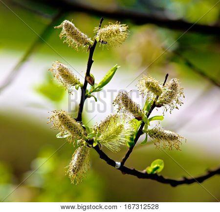 Flowers willow spring (Salix) in the garden