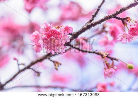 Wild Himalayan cherry, Cherry blossom or Sakura