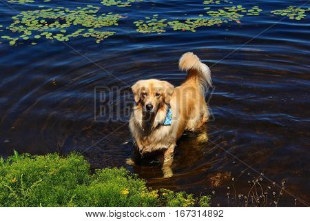 Golden Retriever puppy playing in the water in a lake in Wisconsin