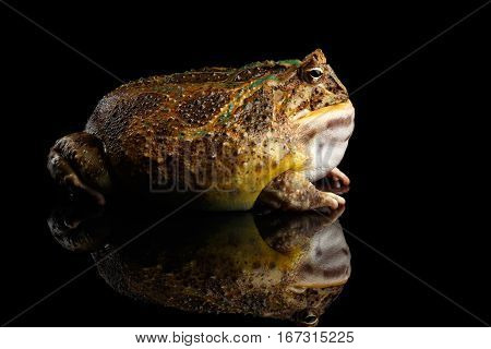 Argentine Horned Frog or Pac-man, Ceratophrys ornata isolated on black background with reflection