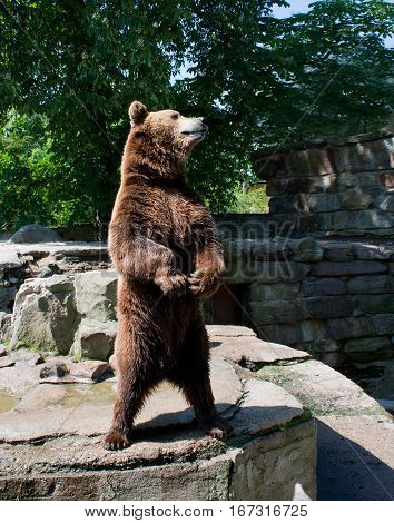 big brown bear in the city zoo on summer sunny day