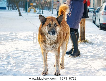 big red dog standing on snow on sunny winter day