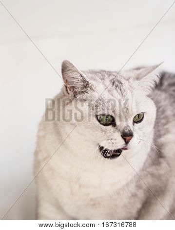 White predator of the cat family, housecat in the process of hunting within the walls of his house. With place for your text, for background use