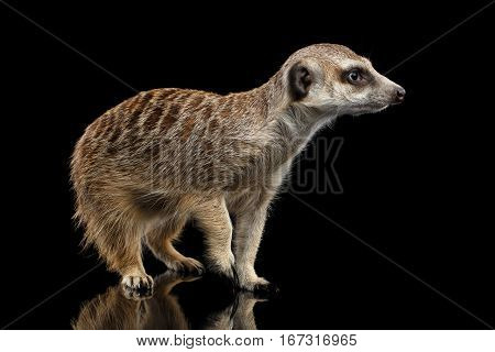 Cute One Meerkat lookout isolated on black background