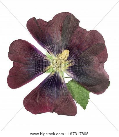 Pressed and dried dark flower mallow (malva). Isolated on white background. For use in scrapbooking floristry (oshibana) or herbarium.