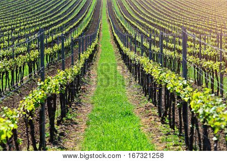 Vineyard in spring. Green agriculture background. Straight lines of young grape in vineyard. A lot of young green sprouts of grape.