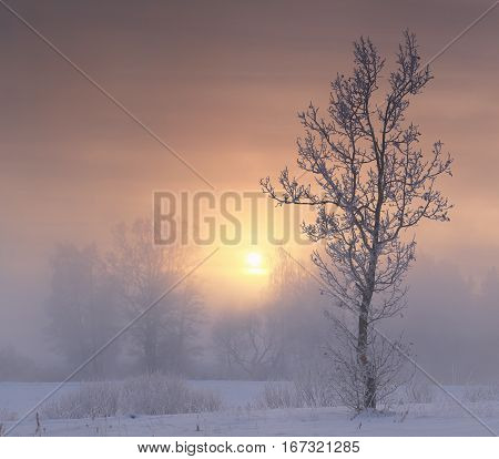 Frosty tree on sunrise background. Frosty winter morning. Colorful winter landscape of winter sunrise. Rising sun illuminate white snow and hoarfrost on trees. Beautiful winter background.