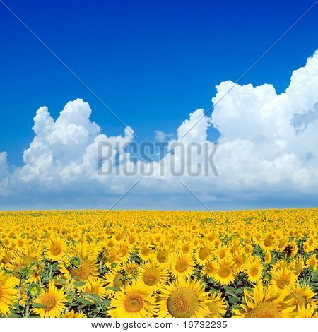 Green sunflowers field and white clouds on blue sky.