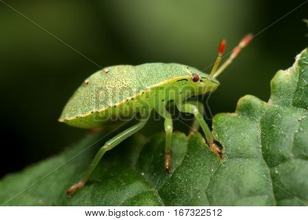 Green Insect Palomena Prasina